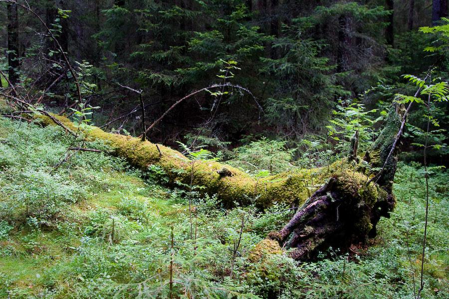 Fallet träd Skuleskogen